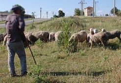 Koyunları otlatırken patlamamış top mermisi görünce şok oldu