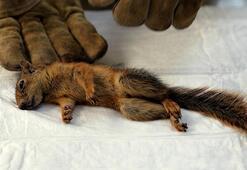 Muğlada saçmayla yaralanan sincap tedaviye alındı