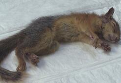 Saçmayla yaralanan sincap tedaviye alındı