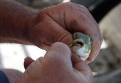 İstilacı balon balıkları tatilcilere korku salıyor