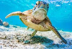Büyük Set Resifindeki yeşil kaplumbağalar görüntülendi