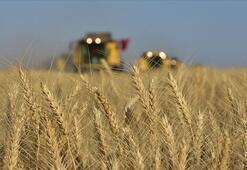 Buğdayda yaklaşık 22 milyon tonluk üretim