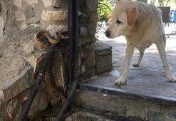 Yılanın köpeğe saldırması kameralara yansıdı