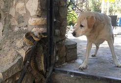 Yılan köpeğe böyle saldırdı