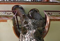 335 yıllık ağacı kesmeye kıyamadılar İmar planı değişti ve... Bu evi gören inanamıyor