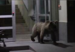 Sarıkamışta boz ayılar ilçe merkezine indi