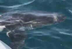 Saros Körfezi açıklarında köpek balığı görüntülendi