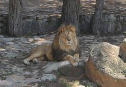 Gaziantep Hayvanat Bahçesi Müdürü: Türkiyede aslan doğal hayatta barınamaz