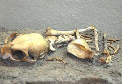 Yenikapıdaki kedi iskeletleri incelendi, yeni bilgiler ortaya çıktı
