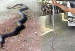 Bursada 2 metrelik yılanlar tarlaları sardı