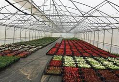 Orduda süs bitkileri yetiştiriciliği yeni gelir kapısı oldu