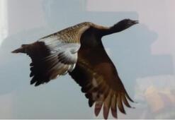 Muş Ovasını toy kuşları mesken tuttu