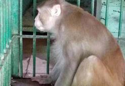 Hindistanda bir kişiyi öldüren, 250 kişiyi yaralayan maymuna müebbet