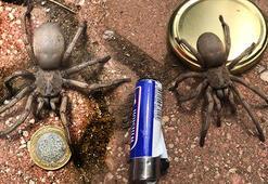 Son dakika Bir şehir şokta Yılanlardan sonra şimdi de dev örümcek...