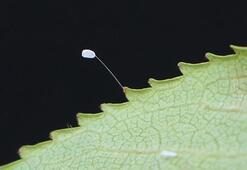 Son dakika... Çanakkalede 3 bin yılda açtığına inanılan udumbara çiçeği görüldü