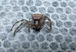 İnsan yüzlü örümcekler her yerdeler