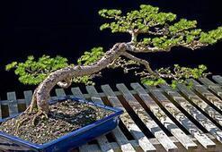 Bonsai Ağacı Özellikleri Nelerdir Bonsai Ağacı Nasıl Yetiştirilir