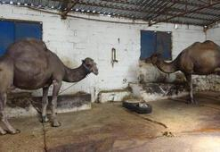 Kurbanlık deve fiyatı, 12 bin liradan başlıyor