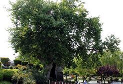 Çınar Ağacı Özellikleri Nelerdir, Nasıl Yetiştirilir