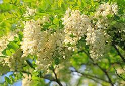 Akasya Ağacı Özellikleri Nelerdir, Nasıl Yetiştirilir