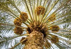 Hurma Ağacı Özellikleri Nelerdir, Nasıl Yetiştirilir