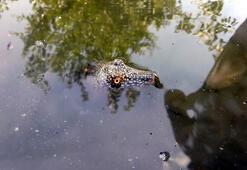 Fırat kaplumbağası Adıyamanda bulundu