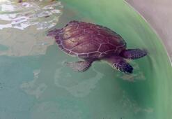 Korona virüs döneminde deniz kaplumbağalarının yuvaları arttı