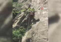 Yavru ayı tellere tırmanarak kaçtı