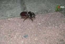 Gençlerin hayalleri yıkıldı 1 dolarlık gergedan böceği şoku