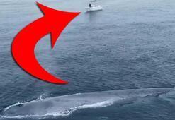 Balıkçıları korkutan görüntü Pasifik Okyanusunda mavi balina görüldü