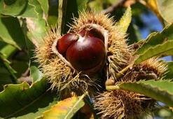 Kestane Ağacı Özellikleri Nelerdir, Nasıl Yetiştirilir