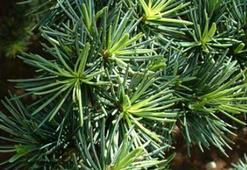 Sedir Ağacı Özellikleri Nelerdir, Nasıl Yetiştirilir