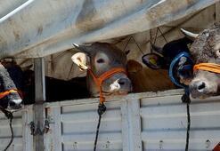 Kurban Bayramı öncesi veterinerlerden dikkat çeken uyarı