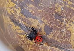 Yılanlardan sonra şimdi de zehirli 'uğur böceği örümceği'