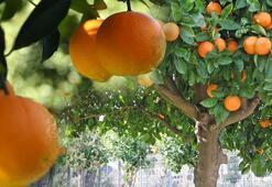 Portakal Ağacı Özellikleri Nelerdir, Nasıl Yetiştirilir