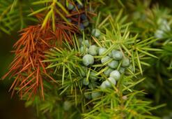 Ardıç Ağacı Özellikleri Nelerdir, Nasıl Yetiştirilir