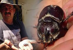Aydın'da bir çiftçi gergedan böceği buldu