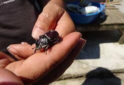 Tarla sularken gergedan böceği buldu