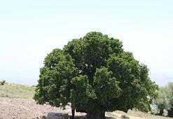 Nevşehirde bin yıllık dut ağacı meyve veriyor