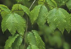 Kayın Ağacı Özellikleri Nelerdir, Nasıl Yetiştirilir