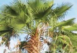 Palmiye Ağacı Özellikleri Nelerdir, Nasıl Yetiştirilir