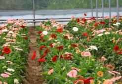 Kesme çiçekler Türkiyenin dört bir yanına gönderiliyor