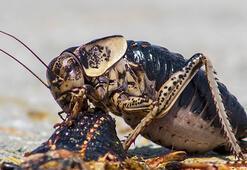 Yamyam tombul çekirge kendi türünü yerken görüntülendi