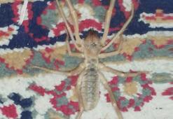 Adanada sarı kız örümceği akrebin düşmanı