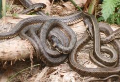 Uluabat Gölünde yılan tedirginliği yaşanıyor