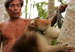 Taylandda maymunların meyve toplayıcısı olarak çalıştırıldığı ortaya çıktı
