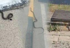 Trabzonda görülen yılanlar endişe yarattı