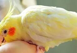 Sultan Papağanı Ne Yer, Nasıl Beslenir Sultan Papağanlarının Sevdiği Besinler Nelerdir