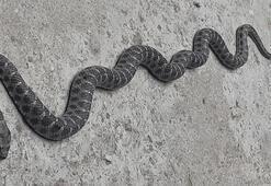 Nazilli'de evin çatısında 2 metrelik yılan paniğe neden oldu