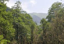 Türkiyenin en yaşlı şimşir ormanları